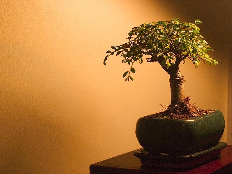 bonsai puu